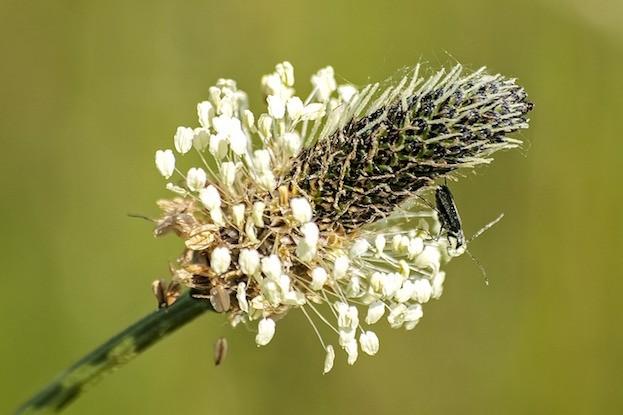 Spitzwegerich – Plantago lanceolata
