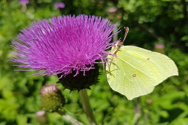 Mariendistel - Arzeipflanze 2021 in Österreich