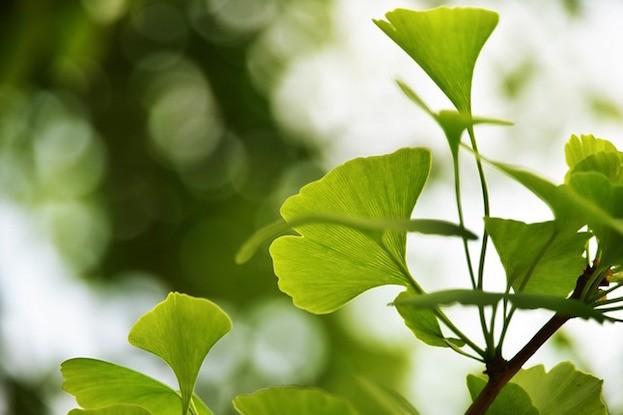Ginkgo-Blätter