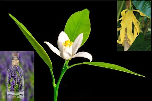 Lavendelblüte, Neroli (Orangenblüte) und Ylang-Ylang fördern gesunden Schlaf