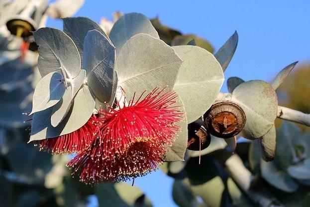 Eukalyptus-Baum mit Blüte und Stempel