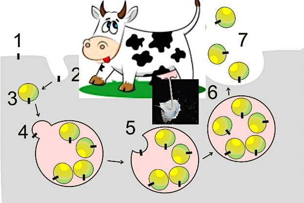Zelluläre Bildung von Exosomen