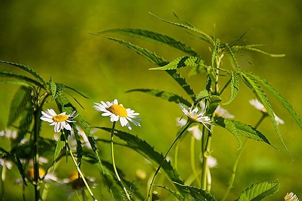 Pflanzen und Heilkräuter sind ein wichtiger Bestandteil der Medizin.
