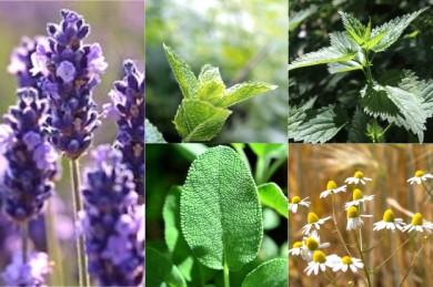 Neben dem Lavendel stehen Pfefferminze, Brennessel, Kamille und Salbei als Kräutertees ganz oben in der Beliebtheitsskala - ©Pixabay (5)