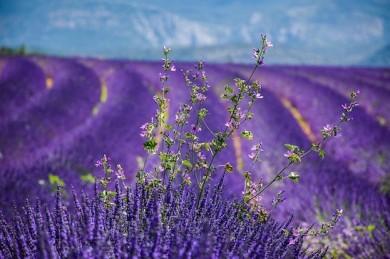 Blühende Lavendelfelder - ©Pixabay