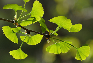 Ginkgo Blätter - ©OShakes/Pixabay