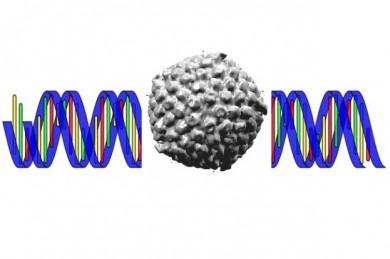 DNA und Herpes-Simplex-Virus
