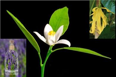 Lavendelblüte, Neroli (Orangenblüte) und Ylang-Ylang fördern gesunden Schlaf - ©Pixabay