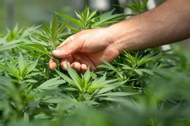 Der Rohstoff sollte aus kontrolliertem Anbau kommen - so lässt sich sicherstellen, am Ende auch ein gutes Produkt zu erhalten. - @ Chrystalweed Cannabis / Unsplash.com