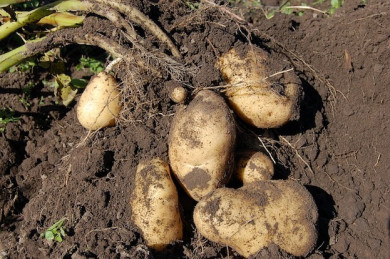 Kartoffel-Ernte - ©Pixaba<_Alexey_Hulsov