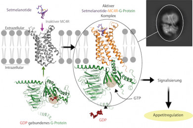 Die abgebildete Interaktion des G-Proteins mit dem Rezeptor zeigt, wie das Hormon im Zusammenspiel mit dem Rezeptor das G-protein aktiviert - ©Charité_Patrick Scheerer