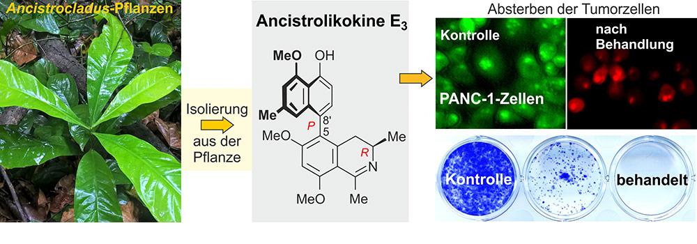 Von der Pflanze zum Wirkstoff – Ancistrolikokin E3 hemmt das Wachstum und die Kolonie-Bildung von Bauchspeicheldrüsenkrebszellen.