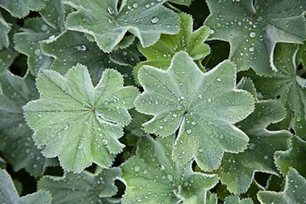 Frauenmantel – Alchemilla vulgaris