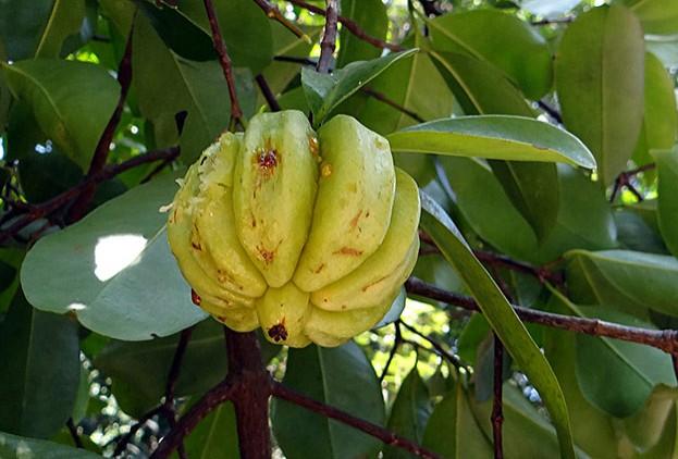 Tamarindenfrucht