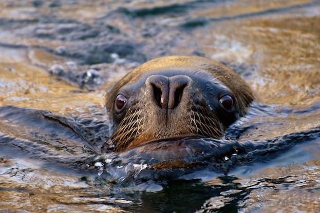 Seelöwe auf Long Island