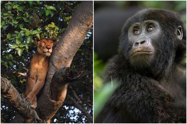 Baumlöwen in der Ishasha-Sektion, Jung-Gorilla im Bwindi Nationalpark