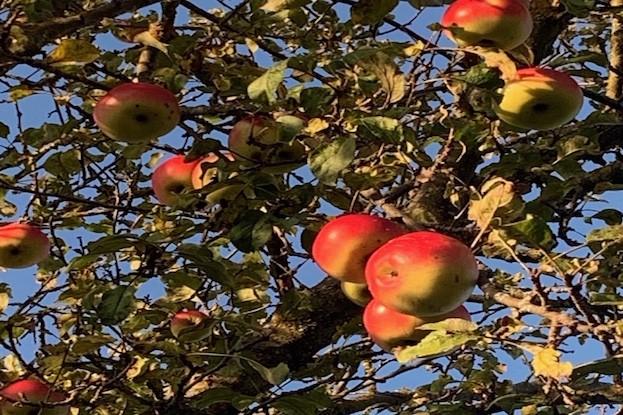 Äpfel in Streuobstwiese