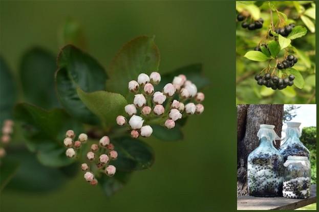 Aroniabeeren (Blüte, Frucht, Saft)