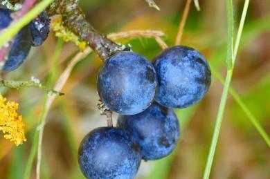 Schlehen - köstliche Wildfrüchte