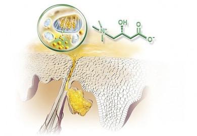Wirkprinzip L-Carnitin