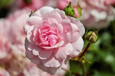 Bei M. ASAM duftet im Frühling alles nach Rosen