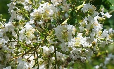 Blühender Myrtenstrauch