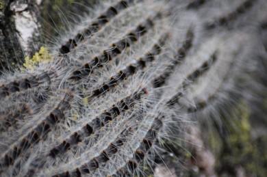 Raupen des Eichenprozessionsspinners - ©Wikipedia_Kleuske