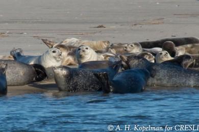 Robben auf Long Island - ©A.H.Kopelman for CRESLI