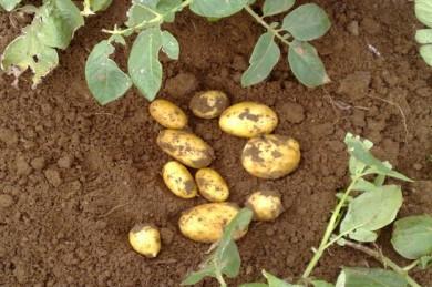 Kartoffelernte am Feld - ©Boehmer/die-kartoffel.de