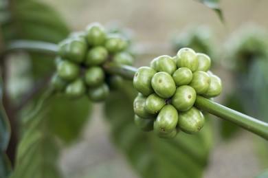 Grüne Kaffeebohnen - ©Pixabay_Pexels