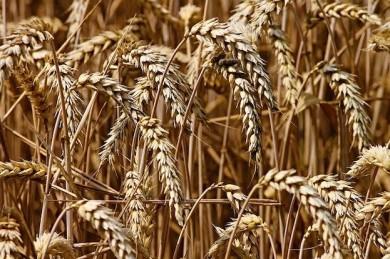 Gluten findet sich vor allem in Weizen - ©Pixabay_BecBartell