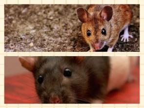 Mäuse und Wanderratten übertragen das Virus