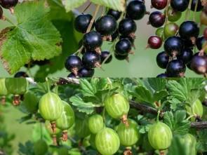 Jostabeeren: Kreuzung aus Schwarzen Johannis- und Stachelbeeren